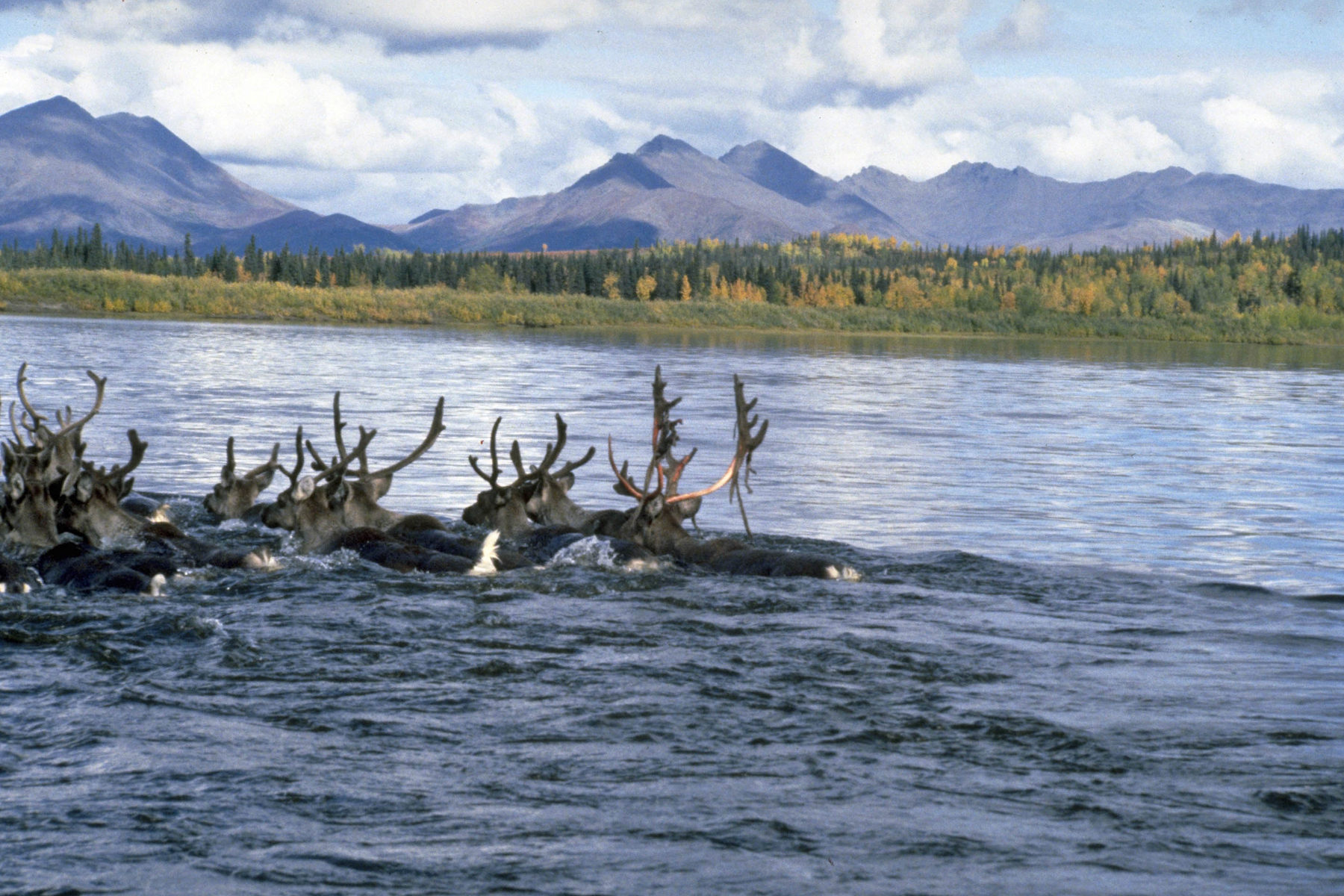 Caribou crossing the Kobuk River. By National Park Service.